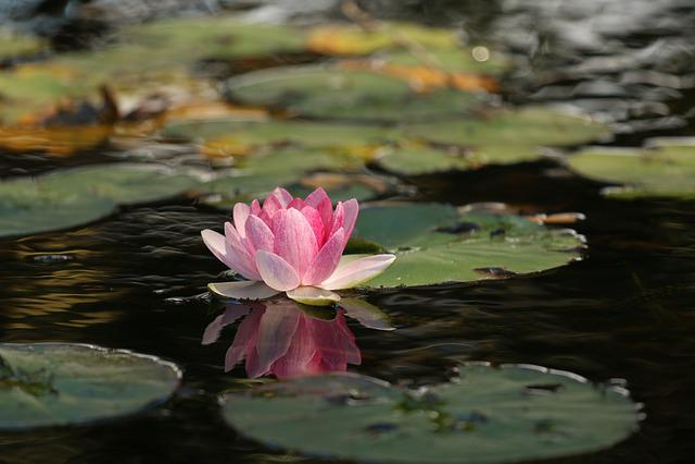 Flower, Lotus, Pond, Lily Pads, Lotus Flower, Bloom