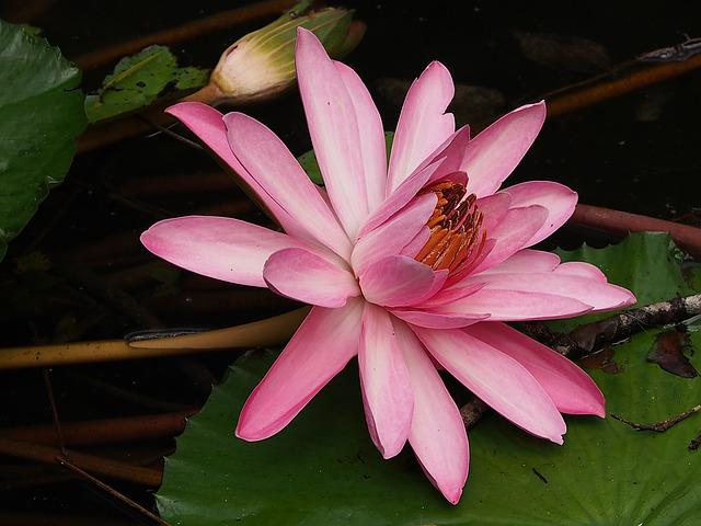Lotus, Bloom, Pink