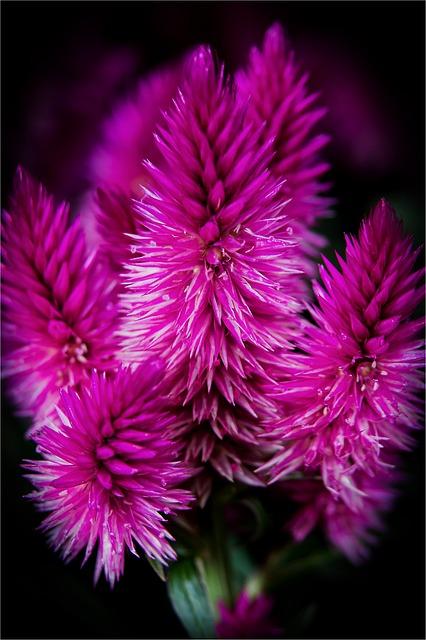 Blossom, Bloom, Flowers, Celosia Venezuela, Macro