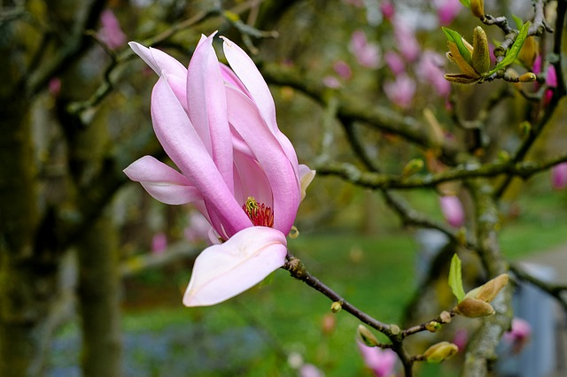 Magnolia, Blossom, Bloom, Pink, Tree, Spring