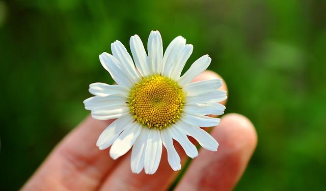 Marguerite, White Marguerite, Hand, Blossom, Bloom