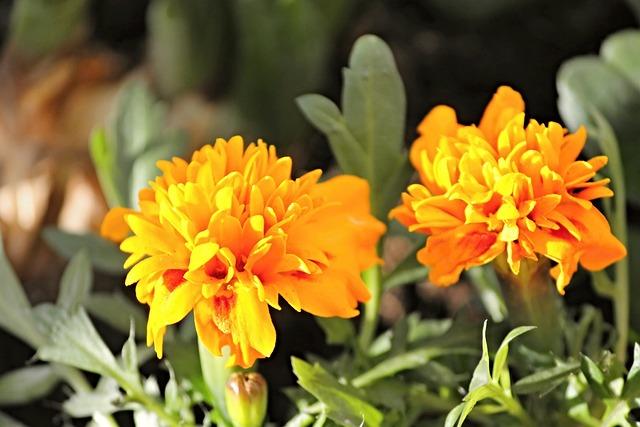 Marigold, Orange, Composites, Blossom, Bloom, Flower