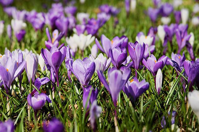Crocus, Spring, Flowers, Bloom, Meadow, Nature, Purple