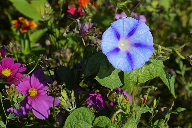 Superb Thread, Blossom, Bloom, Morning Glory