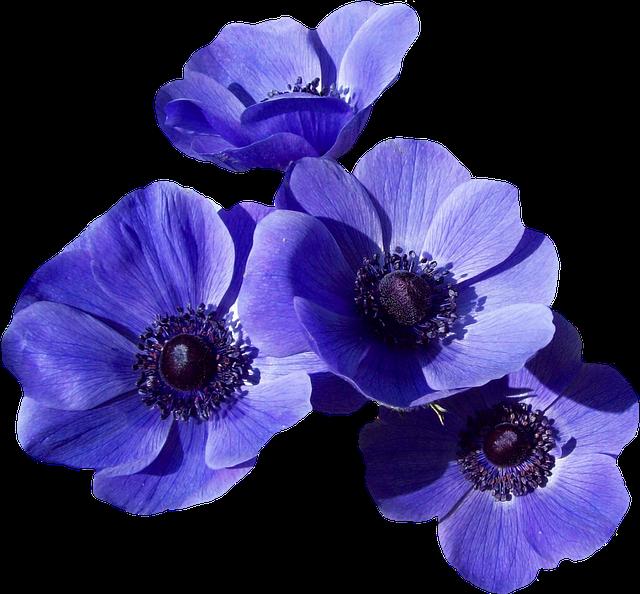 Free Photo Bloom Nature Blue Poppy Blossom Flower Garden
