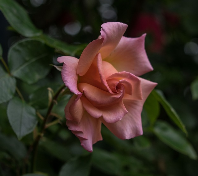Flower, Rose, Blossom, Bloom, Plant, Leaf, Nature