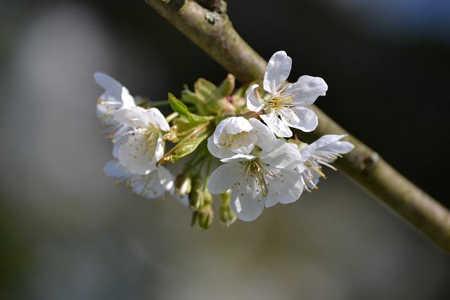 Tree, Nature, Plant, Blossom, Bloom, Cherry