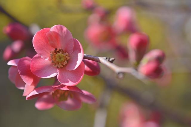 Cherry Blossom, Ornamental Cherry, Blossom, Bloom