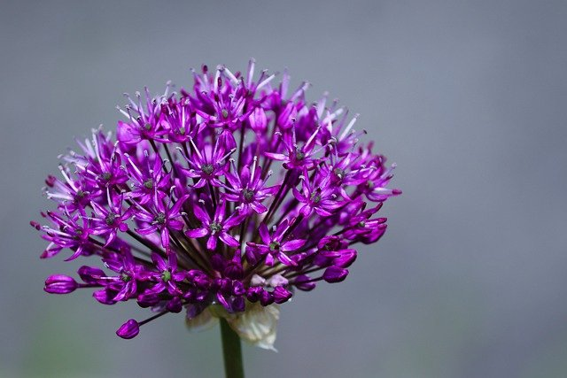 Ornamental Onion, Allium, Blossom, Bloom, Garden Plant