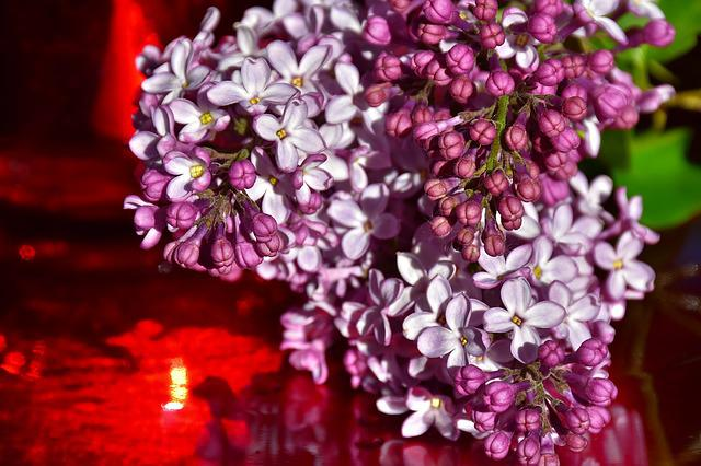 Lilac, Ornamental Shrub, Flowers, Blossom, Bloom, Bloom