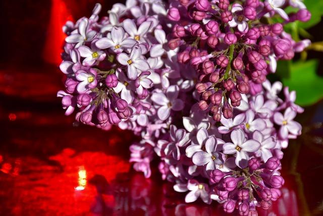 Lilac, Ornamental Shrub, Flowers, Blossom, Bloom, Bloom