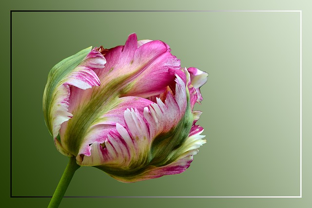Tulip, Parrot Tulip, Blossom, Bloom, Colorful, Spring