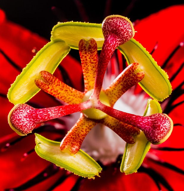 Passion Flower, Flower, Blossom, Bloom, Red