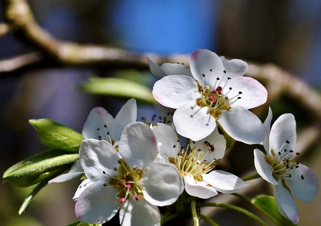 Pear Blossom, Pear, Blossom, Bloom, Bloom, White