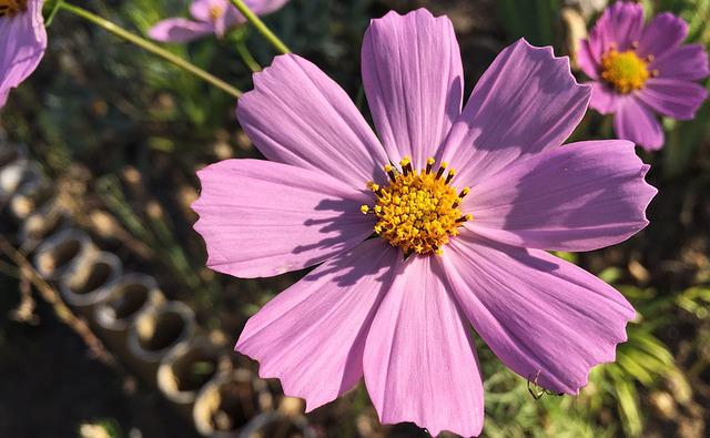Autumn, Cosmos, Flowers, Bloom, Nature, Flower, Petals