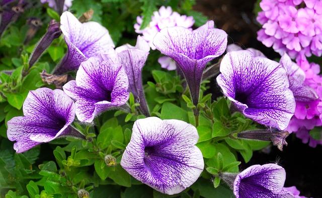 Petunia, Flowers, Blossom, Bloom, Garden Petunia