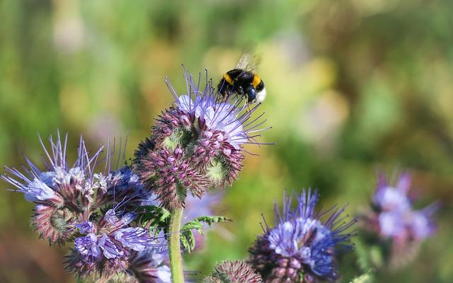Phacelia, Blossom, Bloom, Hummel, Bees, Bee Friend