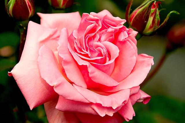 Rose, Blossom, Bloom, Pink, Floribunda, Nature