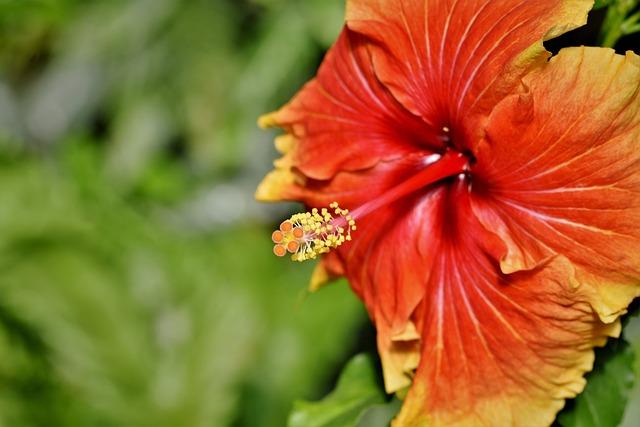 Hibiscus, Marshmallow, Mallow, Blossom, Bloom, Pistil