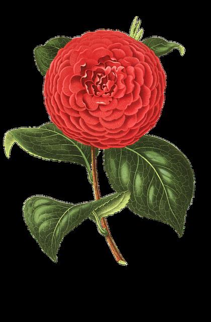 Camellia, Flower, Blossom, Bloom, Plant, Vintage