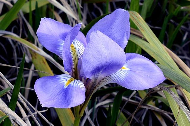Iris, Blossom, Bloom, Flower, Blue, Plant, Nature