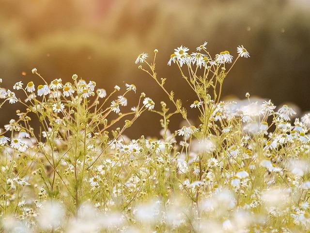 Chamomile, Flower, Plant, Blossom, Bloom, Nature