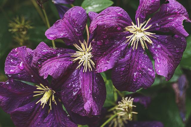 Clematis, Purple, Blossom, Bloom, Nature, Plant