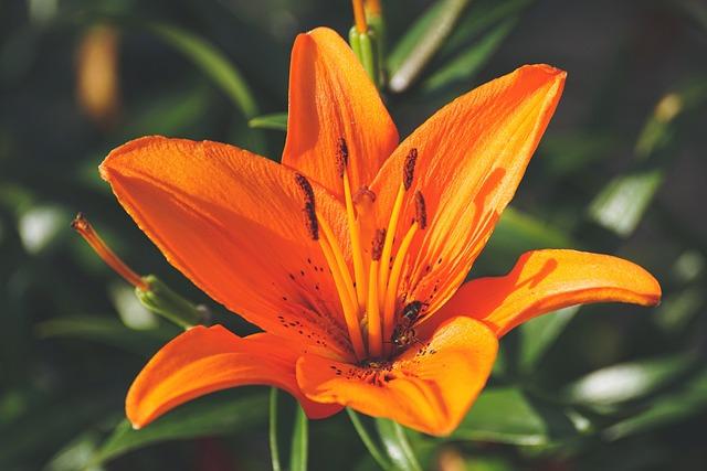 Lily, Orange, Blossom, Bloom, Flower, Plant, Summer