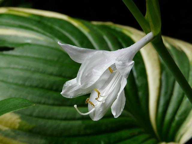 Plantain Lily, Hosta Plantaginea, Blossom, Bloom
