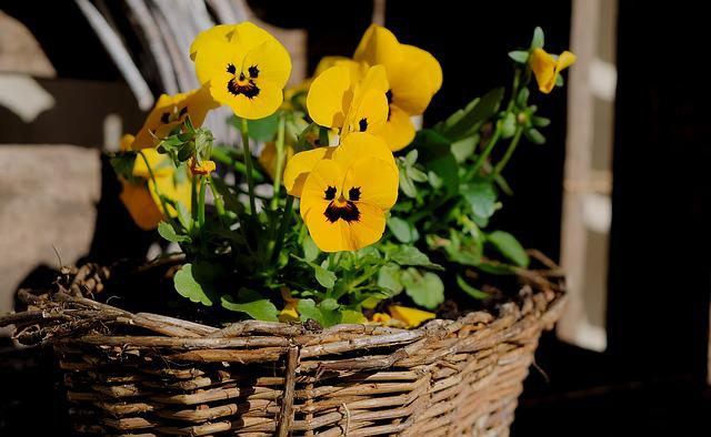 Planting Basket, Pansy, Yellow, Spring, Bloom, Petals