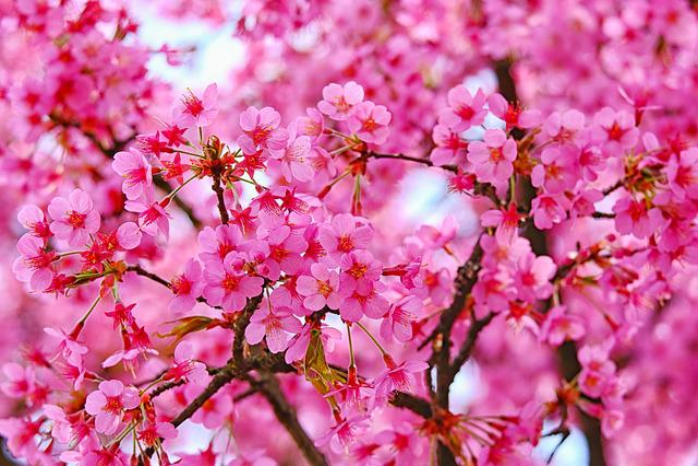 Blossom, Plum, Pink, Bloom, Spring, Plum Tree