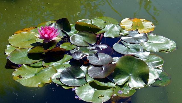 Water Lily, Pink, Blossom, Bloom, Pond, Leaves, Water