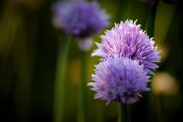 Chives, Flower, Blossom, Bloom, Close, Purple