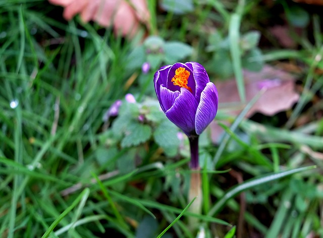 Crocus, Blossom, Bloom, Purple, Early Bloomer, Spring