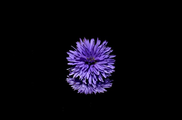 Flower, Aster, Reflection, Purple Flower, Bloom