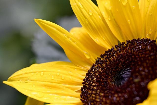 Sunflower, Flower, Blossom, Bloom, Raindrop, Yellow