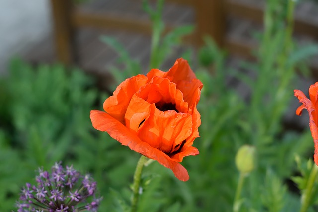Poppy, Blossom, Bloom, Red, Garden