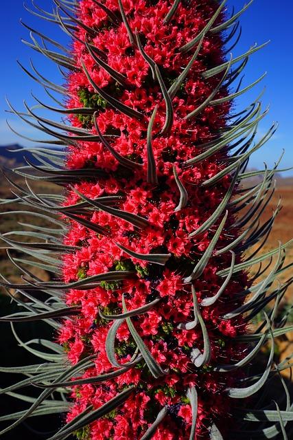 Tajinaste Rojo, Blossom, Bloom, Flower, Red