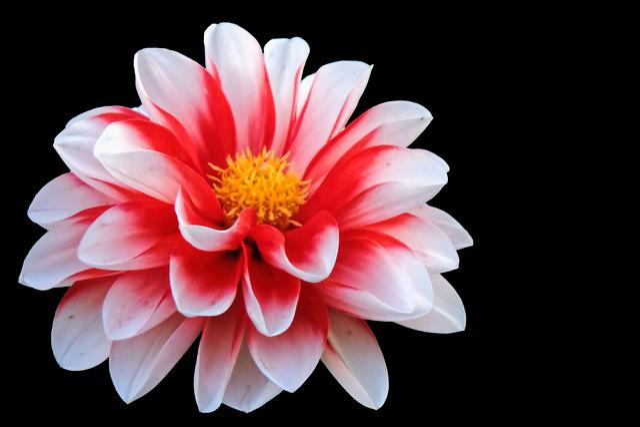 Blossom, Bloom, Red White, Flower, Dahlia
