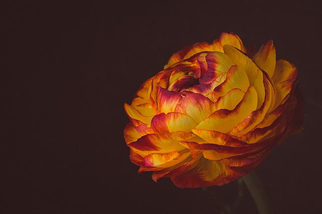 Ranunculus, Flower, Blossom, Bloom, Red Yellow, Petals