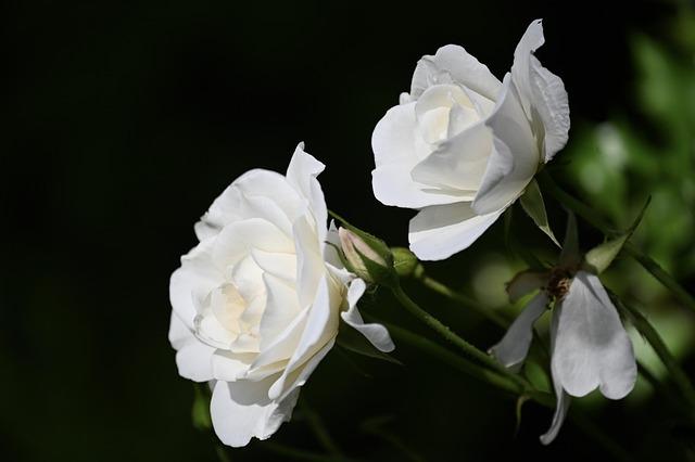 Rose, Rose Bloom, Flower, Blossom, Bloom, Fragrance