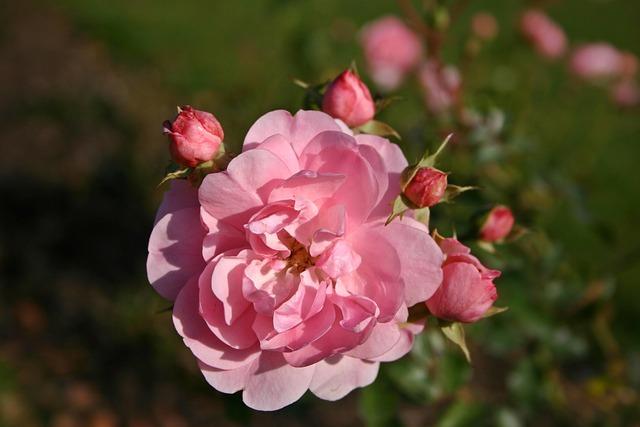 Rose, Pink, Plant, Nature, Blossom, Bloom, Rose Bloom