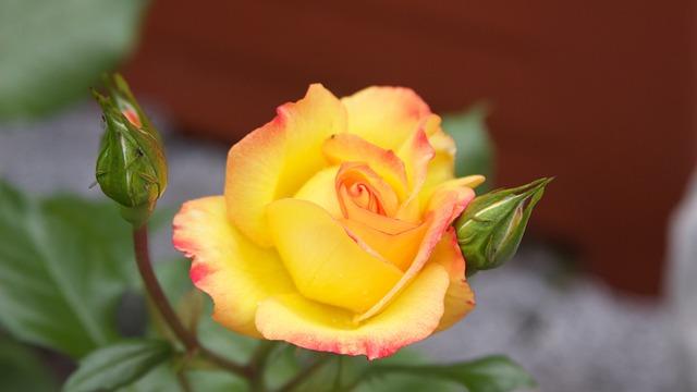Rose, Rose Garden, Rose Flower, Blossom, Bloom