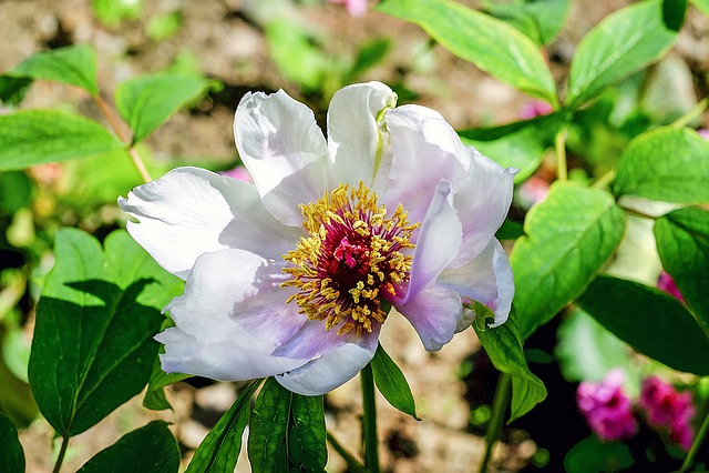Peony, Flower, Blossom, Bloom, Rose, Flowers, Garden