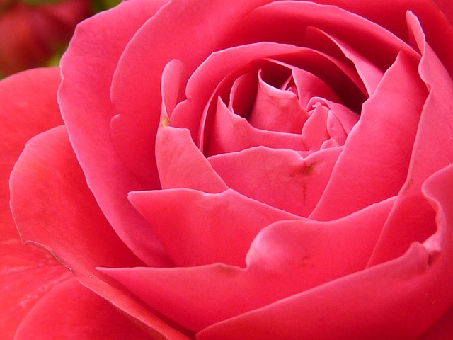 Rose, Rose Bloom, Bloom, Flower, Red, Beautiful, Color