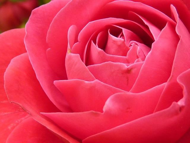 Rose, Rose Bloom, Bloom, Flower, Red, Beautiful, Color