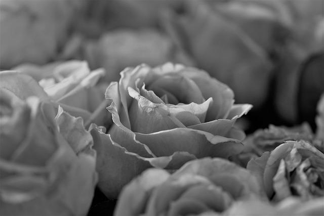 Roses, Flowers, Bloom, Flower, Plant, Black - And-white