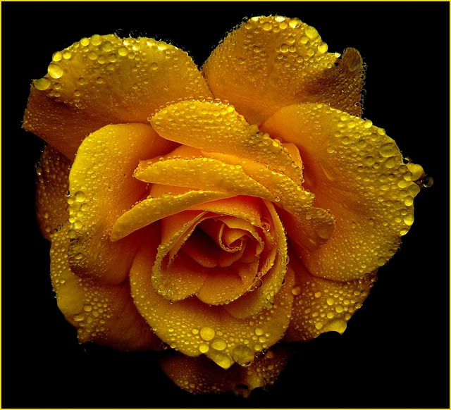 Rose, Roses, Blossom, Bloom, Rose Bloom, Beauty, Plant