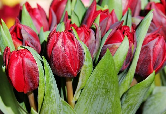 Tulips, Flower, Blossom, Bloom, Bloom, Purple, Spring