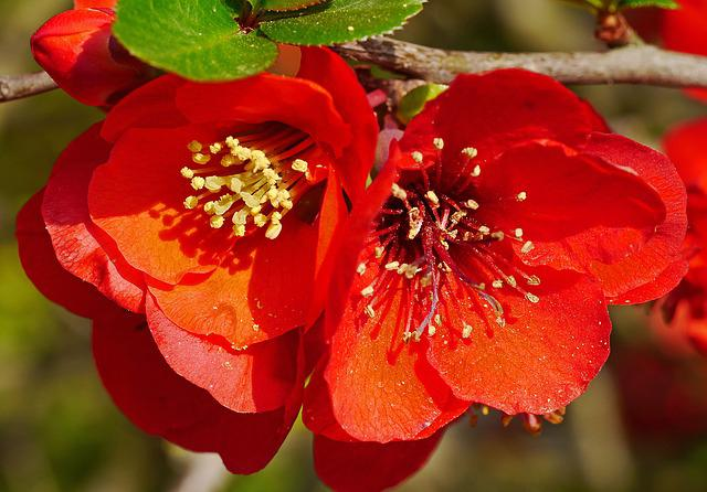 Ornamental Quince, Blossom, Bloom, Spring